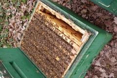 Gut überwintertes Bienenvolk